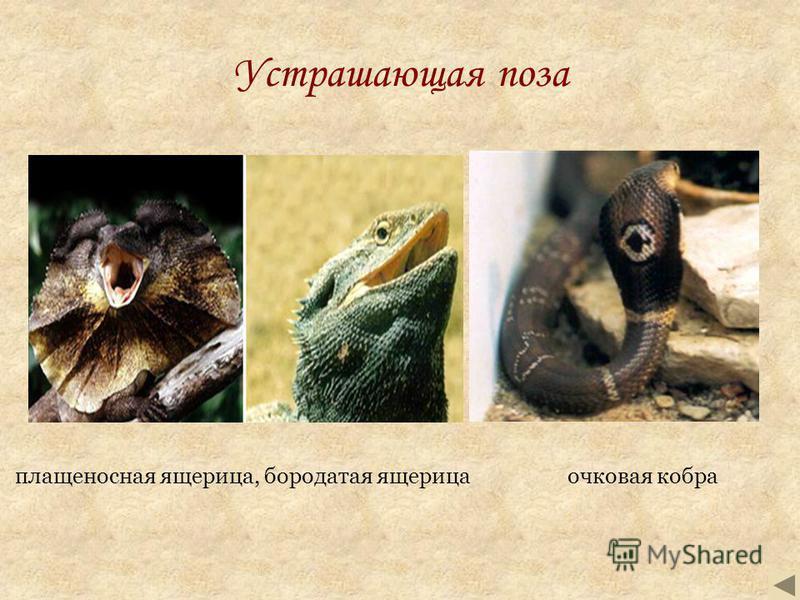 Устрашающая поза очковая кобра плащеносная ящерица, бородатая ящерица