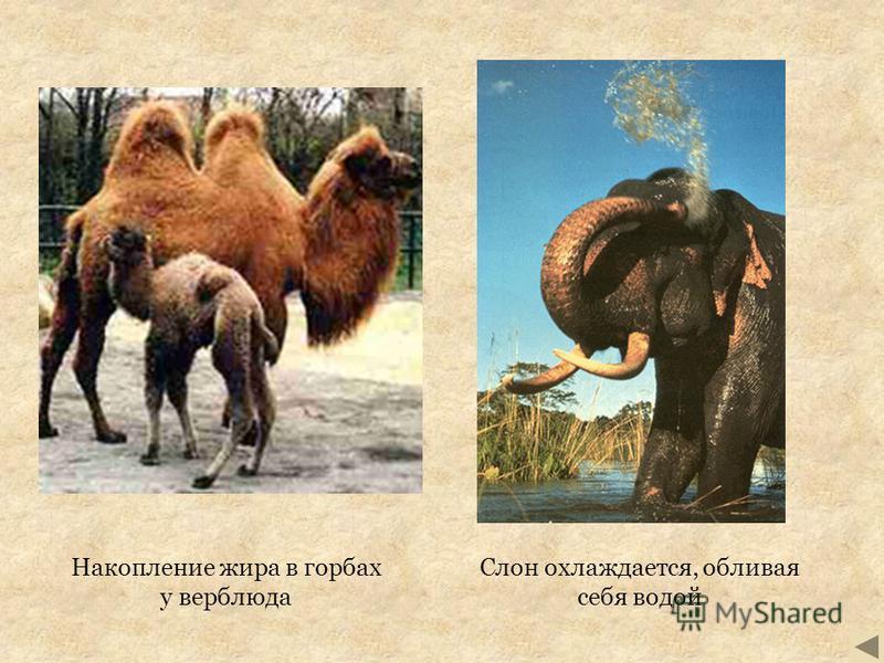 Накопление жира в горбах у верблюда Слон охлаждается, обливая себя водой