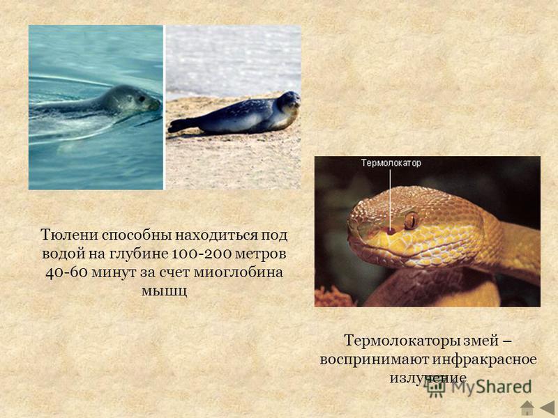 Тюлени способны находиться под водой на глубине 100-200 метров 40-60 минут за счет миоглобина мышц Термолокаторы змей – воспринимают инфракрасное излучение