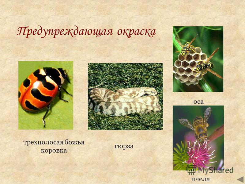 Предупреждающая окраска пчела трехполосая божья коровка оса гюрза