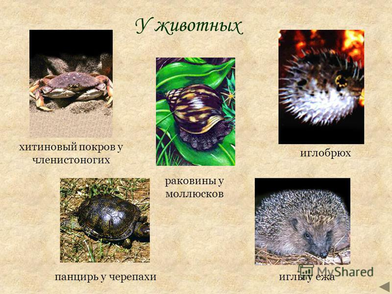У животных иглы у ежа панцирь у черепахи хитиновый покров у членистоногих раковины у моллюсков иглобрюх