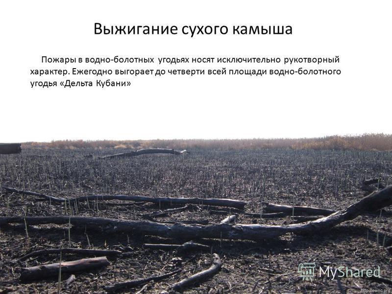 Выжигание сухого камыша Пожары в водно-болотных угодьях носят исключительно рукотворный характер. Ежегодно выгорает до четверти всей площади водно-болотного угодья «Дельта Кубани»