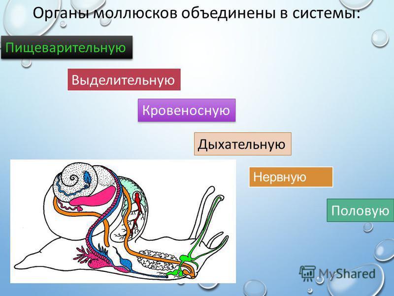 Органы моллюсков объединены в системы: Нервную Пищеварительную Выделительную Половую Кровеносную Дыхательную