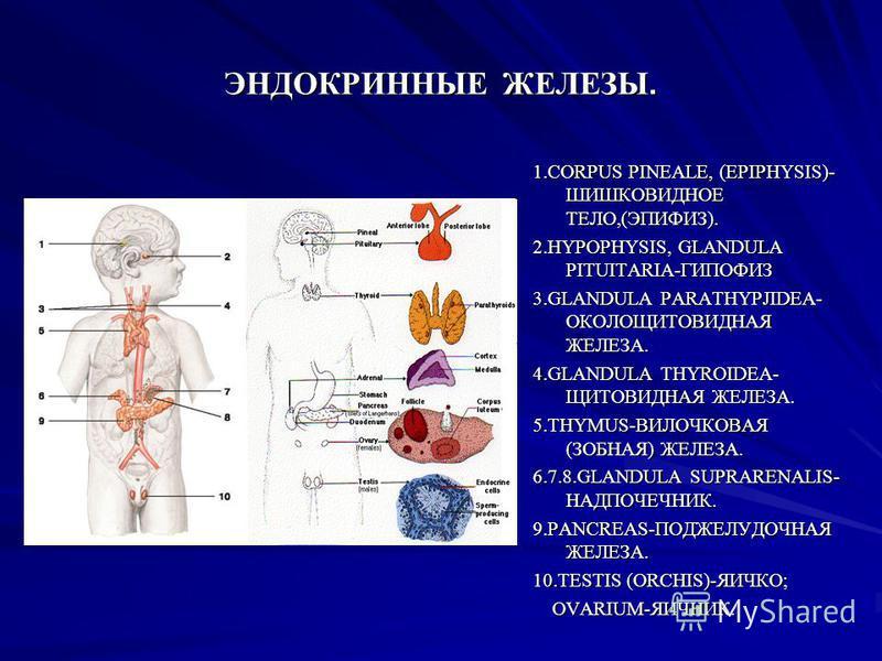 ЭНДОКРИННЫЕ ЖЕЛЕЗЫ. 1. СОRPUS PINEALE, (EPIPHYSIS)- ШИШКОВИДНОЕ ТЕЛО,(ЭПИФИЗ). 2.HYPOPHYSIS, GLANDULA PITUITARIA-ГИПОФИЗ 3. GLANDULA PARATHYPJIDEA- ОКОЛОЩИТОВИДНАЯ ЖЕЛЕЗА. 4. GLANDULA THYROIDEA- ЩИТОВИДНАЯ ЖЕЛЕЗА. 5.THYMUS-ВИЛОЧКОВАЯ (ЗОБНАЯ) ЖЕЛЕЗА.