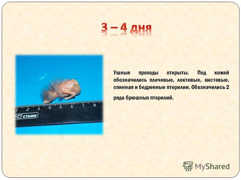 Ушюные проходы открыты. Под кожей обозначились плечевые, локтевые, кистевые, спинная и бедренюные птерилии. Обозначились 2 ряда брюшных птерилий.