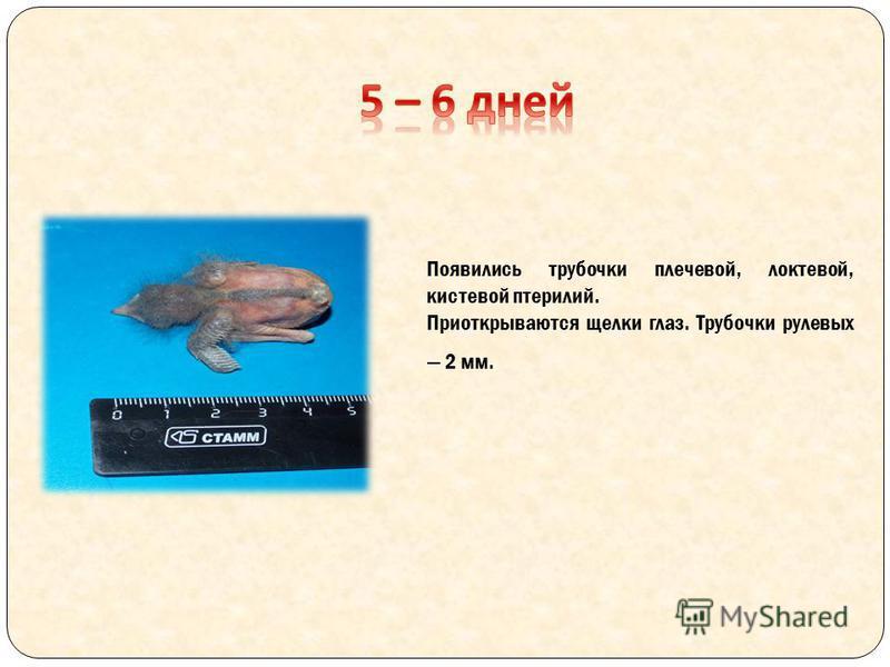 Появились трубочки плечевой, локтевой, кистевой птерилий. Приоткрываются щелки глаз. Трубочки рулевых 2 мм.