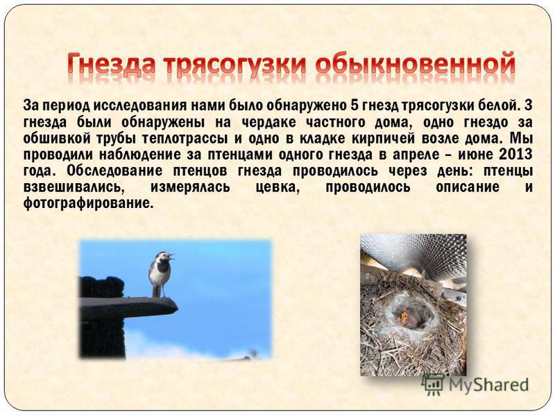 За период исследования нами было обнаружено 5 гнезд трясогузки белой. 3 гнезда были обнаружены на чердаке частного дома, одно гнездо за обшивкой трубы теплотрассы и одно в кладке кирпичей возле дома. Мы проводили наблюдение за птенцами одного гнезда