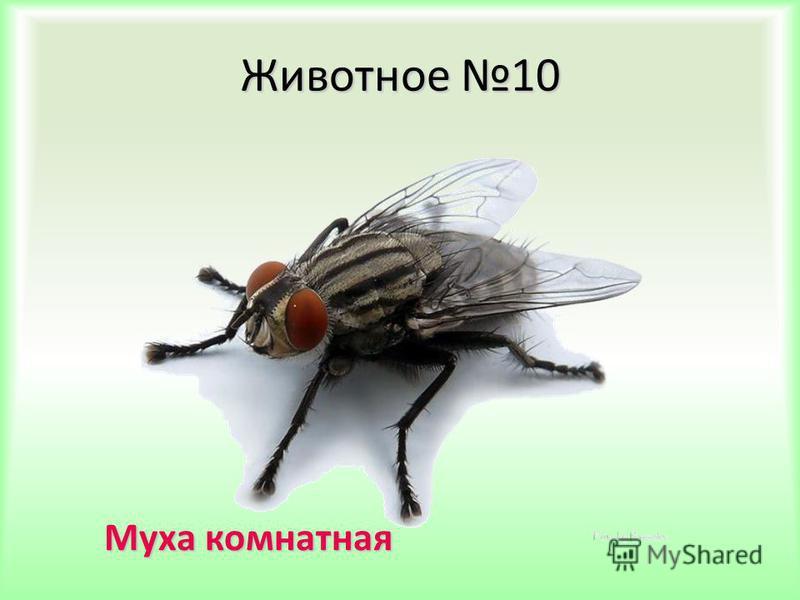 Животное 10 Муха комнатная