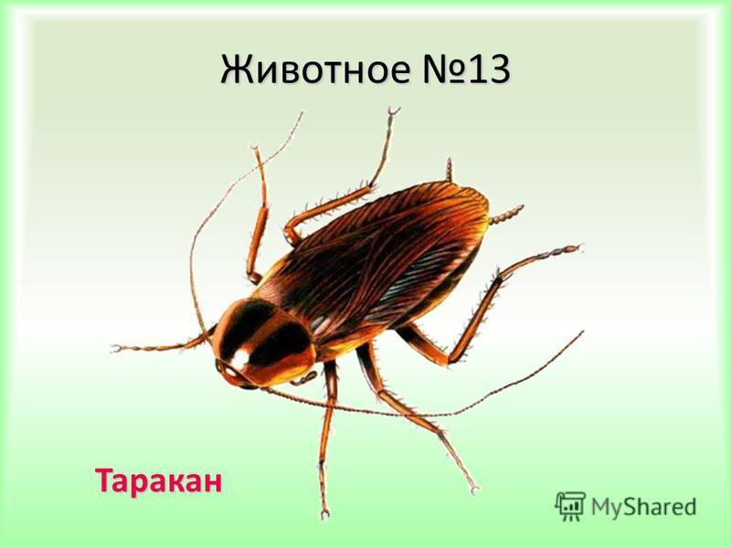 Животное 13 Таракан