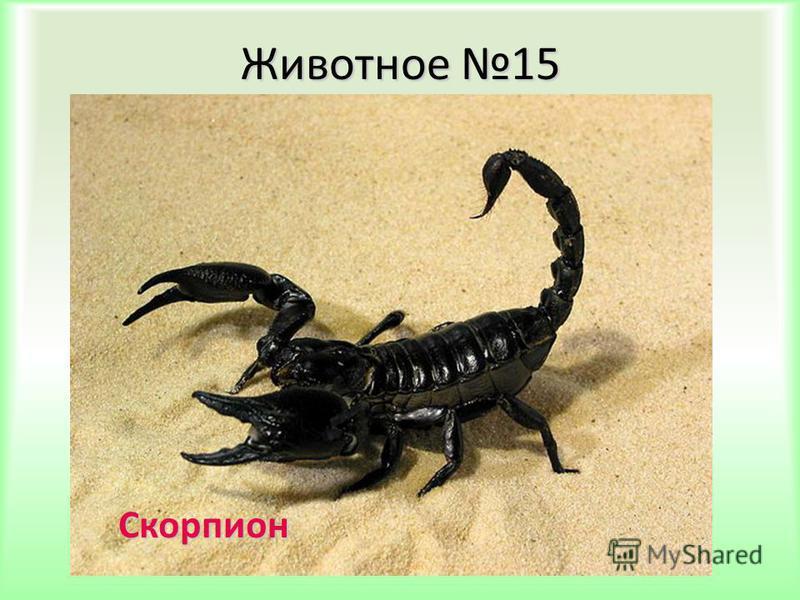 Животное 15 Скорпион