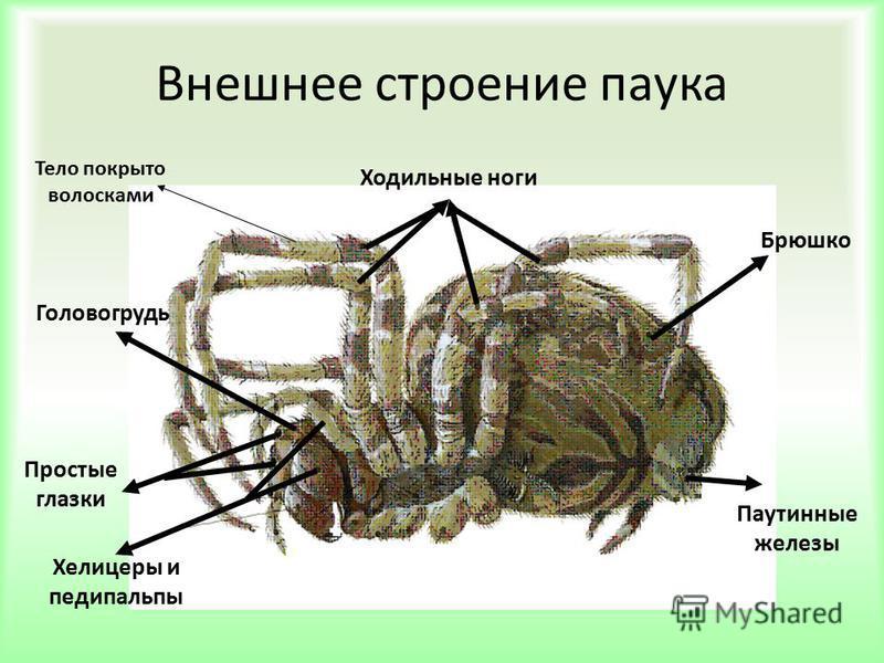 Внешнее строение паука Ходильные ноги Брюшко Паутинные железы Хелицеры и педипальпы Простые глазки Головогрудь Тело покрыто волосками