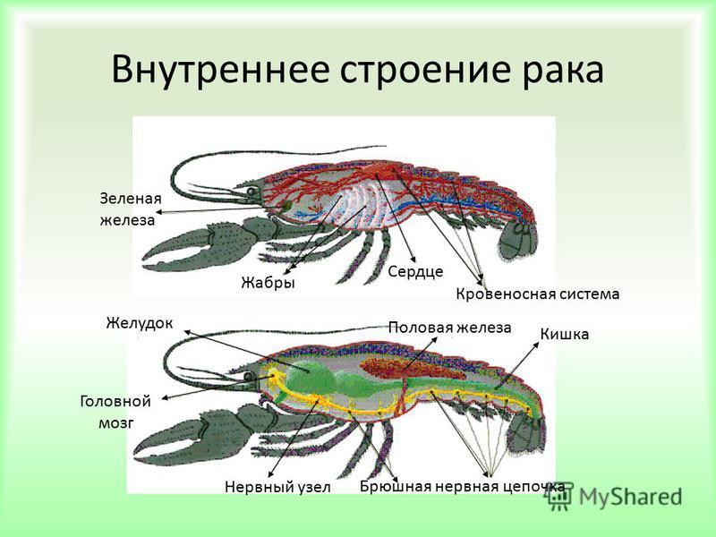 Внутреннее строение рака Сердце Кровеносная система Жабры Зеленая железа Половая железа Кишка Брюшная нервная цепочка Нервный узел Головной мозг Желудок
