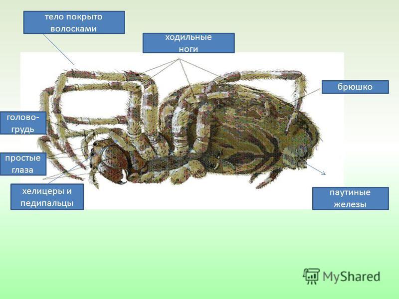 брюшко головогрудь ходильные ноги паутинные железы тело покрыто волосками простые глаза хелицеры и педипальпы