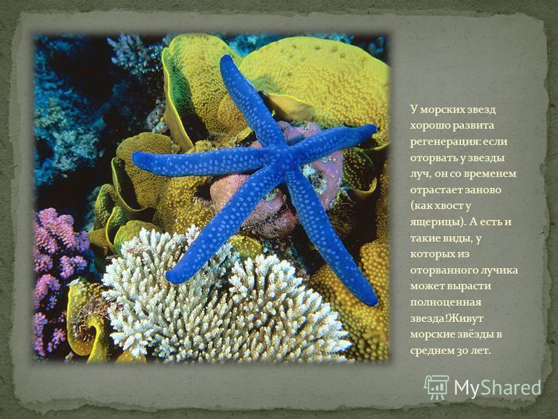 Эти животные - хищники. Питаются звезды моллюсками и различными донными беспозвоночными. Процесс питания у морских звезд весьма своеобразный! Звезда обхватывает раковину моллюска своими руками-лучами, присасывается к ней амбулакральными ножками и с с