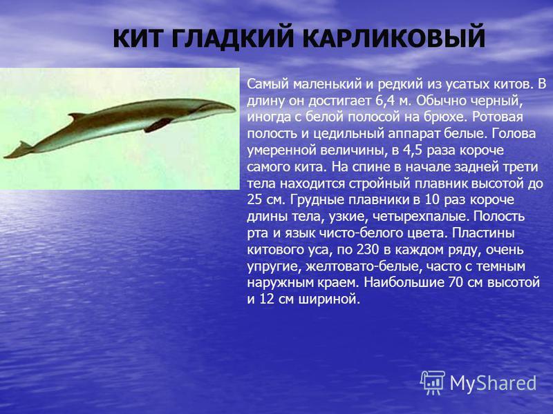 КИТ ГЛАДКИЙ КАРЛИКОВЫЙ Самый маленький и редкий из усатых китов. В длину он достигает 6,4 м. Обычно черный, иногда с белой полосой на брюхе. Ротовая полость и цедильный аппарат белые. Голова умеренной величины, в 4,5 раза короче самого кита. На спине