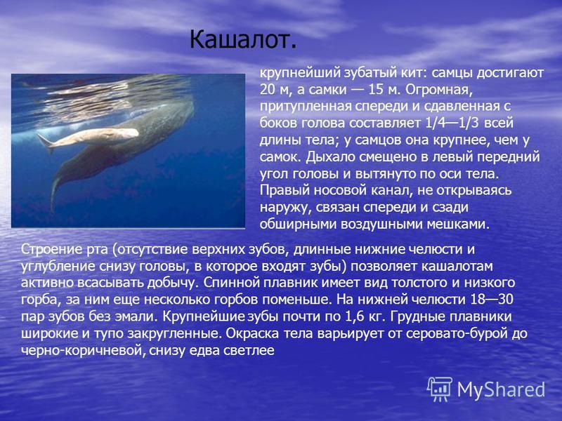 Кашалот. крупнейший зубатый кит: самцы достигают 20 м, а самки 15 м. Огромная, притупленная спереди и сдавленная с боков голова составляет 1/41/3 всей длины тела; у самцов она крупнее, чем у самок. Дыхало смещено в левый передний угол головы и вытяну
