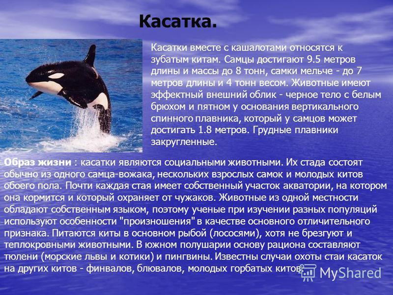 Касатка. Касатки вместе с кашалотами относятся к зубатым китам. Самцы достигают 9.5 метров длины и массы до 8 тонн, самки мельче - до 7 метров длины и 4 тонн весом. Животные имеют эффектный внешний облик - черное тело с белым брюхом и пятном у основа