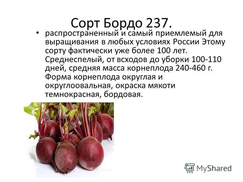 Сорт Бордо 237. распространенный и самый приемлемый для выращивания в любых условиях России Этому сорту фактически уже более 100 лет. Среднеспелый, от всходов до уборки 100-110 дней, средняя масса корнеплода 240-460 г. Форма корнеплода округлая и кру