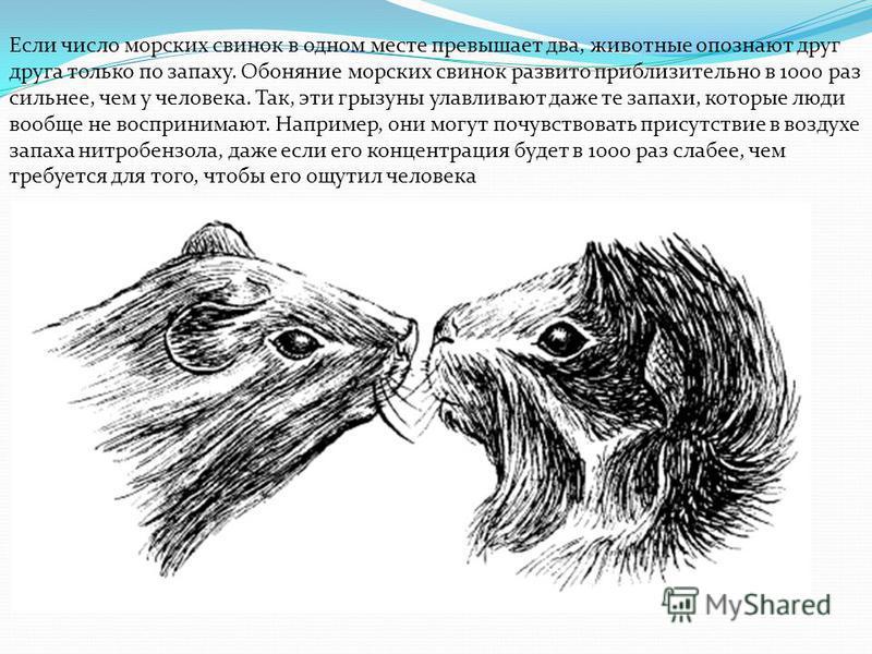 Если число морских свинок в одном месте превышает два, животные опознают друг друга только по запаху. Обоняние морских свинок развито приблизительно в 1000 раз сильнее, чем у человека. Так, эти грызуны улавливают даже те запахи, которые люди вообще н