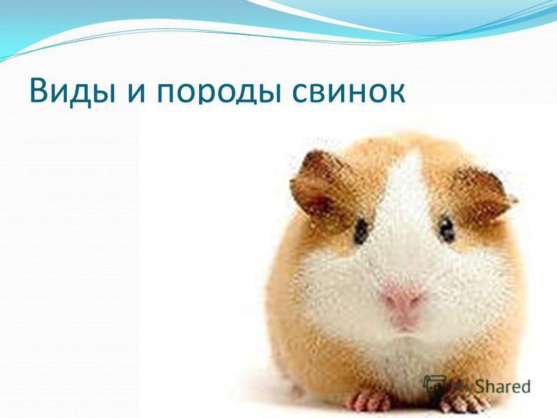 Виды и породы свинок