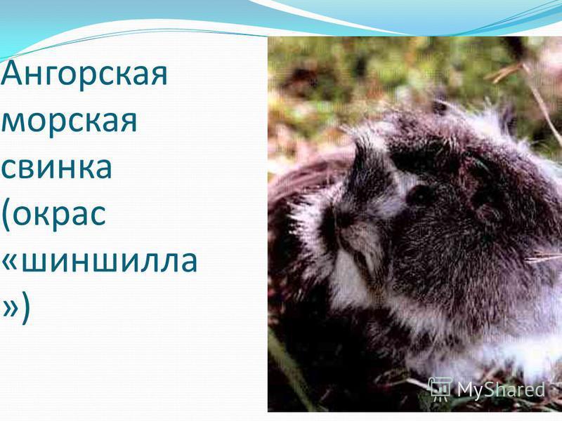 Ангорская морская свинка (окрас «шиншилла »)