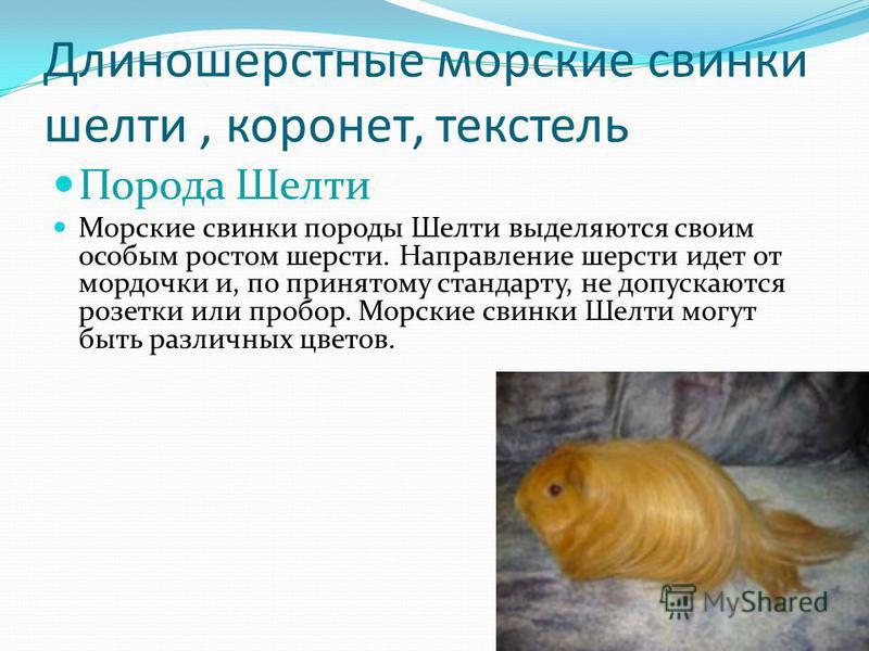 Длиношерстные морские свинки шелти, коронет, текстель Порода Шелти Морские свинки породы Шелти выделяются своим особым ростом шерсти. Направление шерсти идет от мордочки и, по принятому стандарту, не допускаются розетки или пробор. Морские свинки Шел