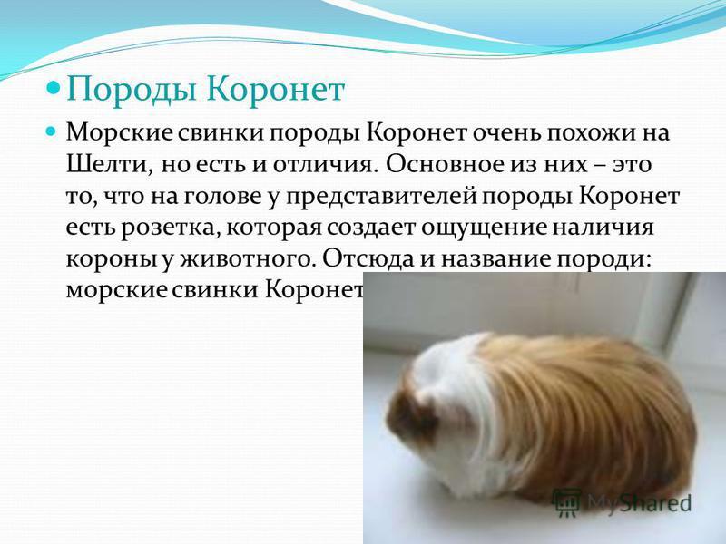 Породы Коронет Морские свинки породы Коронет очень похожи на Шелти, но есть и отличия. Основное из них – это то, что на голове у представителей породы Коронет есть розетка, которая создает ощущение наличия короны у животного. Отсюда и название породи
