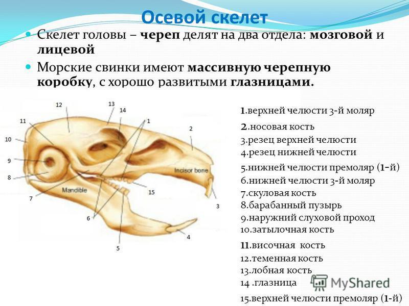 Осевой скелет Скелет головы – череп делят на два отдела: мозговой и лицевой Морские свинки имеют массивную черепную коробку, с хорошо развитыми глазницами. 1. верхней челюсти 3-й моляр 2. носовая кость 3. резец верхней челюсти 4. резец нижней челюсти
