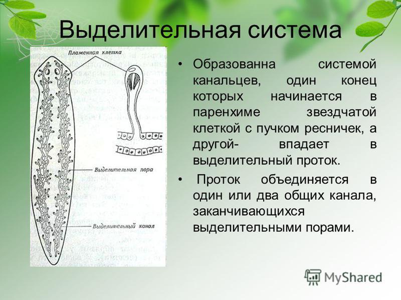 Выделительная система Образованна системой канальцев, один конец которых начинается в паренхиме звездчатой клеткой с пучком ресничек, а другой- впадает в выделительный проток. Проток объединяется в один или два общих канала, заканчивающихся выделител