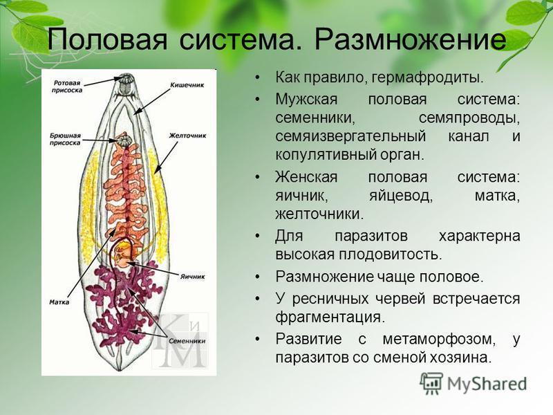 Половая система. Размножение Как правило, гермафродиты. Мужская половая система: семенники, семяпроводы, семяизвергательный канал и копулятивный орган. Женская половая система: яичник, яйцевод, матка, желточники. Для паразитов характерна высокая плод