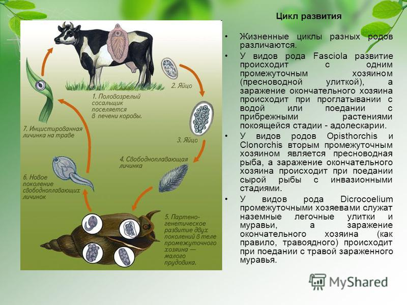 Цикл развития Жизненные циклы разных родов различаются. У видов рода Fasciola развитие происходит с одним промежуточным хозяином (пресноводной улиткой), а заражение окончательного хозяина происходит при проглатывании с водой или поедании с прибрежным