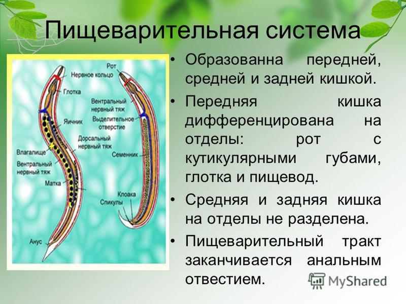 Пищеварительная система Образованна передней, средней и задней кишкой. Передняя кишка дифференцирована на отделы: рот с кутикулярными губами, глотка и пищевод. Средняя и задняя кишка на отделы не разделена. Пищеварительный тракт заканчивается анальны