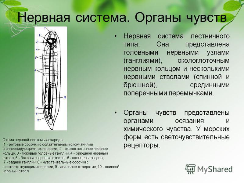 Нервная система. Органы чувств Нервная система лестничного типа. Она представлена головными нервными узлами (ганглиями), окологлоточным нервным кольцом и несколькими нервными стволами (спинной и брюшной), срединными поперечными перемычками. Органы чу