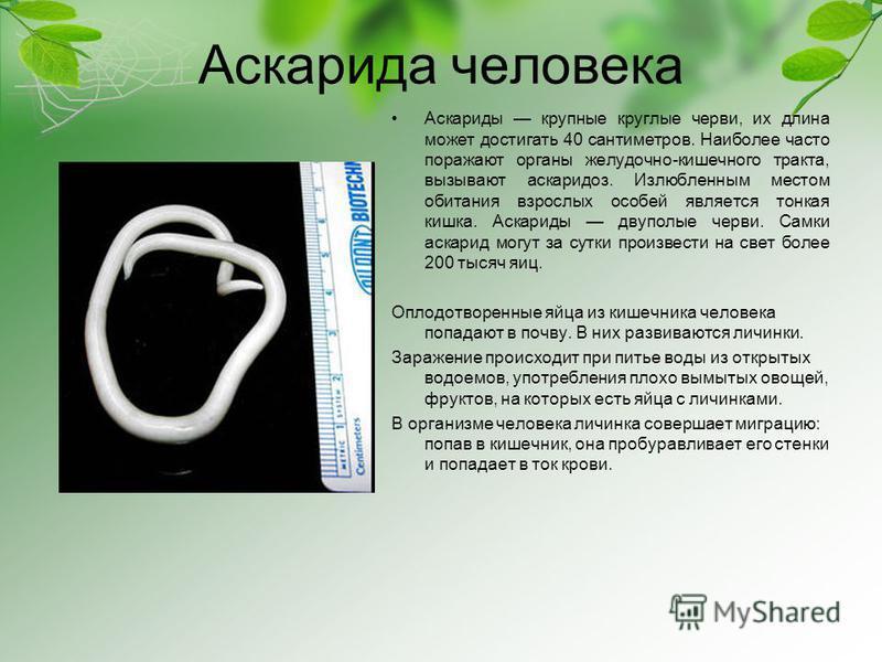 Аскарида человека Аскариды крупные круглые черви, их длина может достигать 40 сантиметров. Наиболее часто поражают органы желудочно-кишечного тракта, вызывают аскаридоз. Излюбленным местом обитания взрослых особей является тонкая кишка. Аскариды двуп