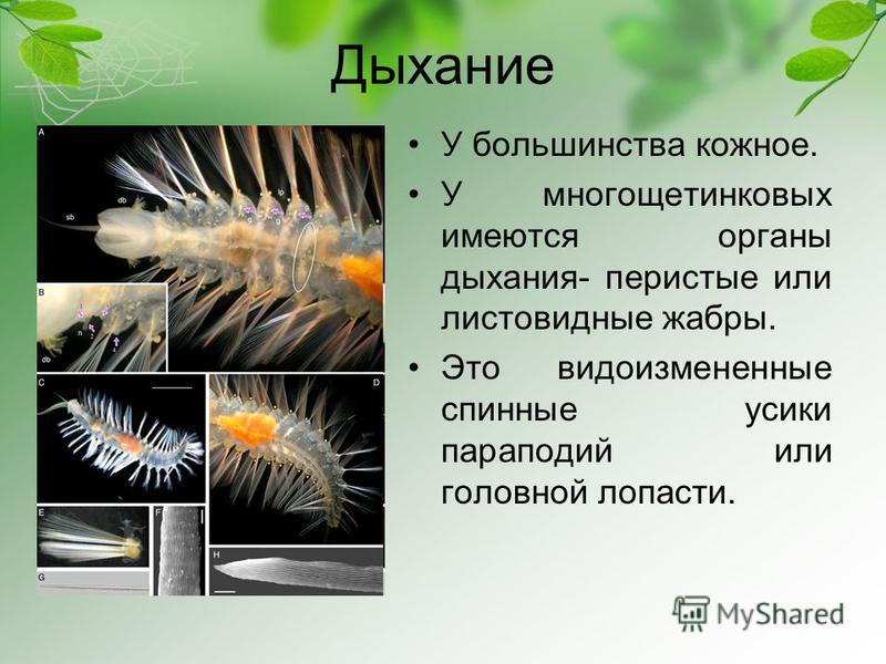 Дыхание У большинства кожное. У многощетинковых имеются органы дыхания- перистые или листовидные жабры. Это видоизмененные спинные усики параподий или головной лопасти.