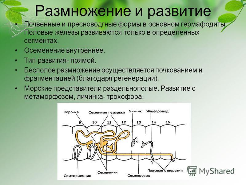 Размножение и развитие Почвенные и пресноводгные формы в основном гермафодиты. Половые железы развиваются только в определенных сегментах. Осеменение внутреннее. Тип развития- прямой. Бесполое размножение осуществляется почкованием и фрагментацией (б
