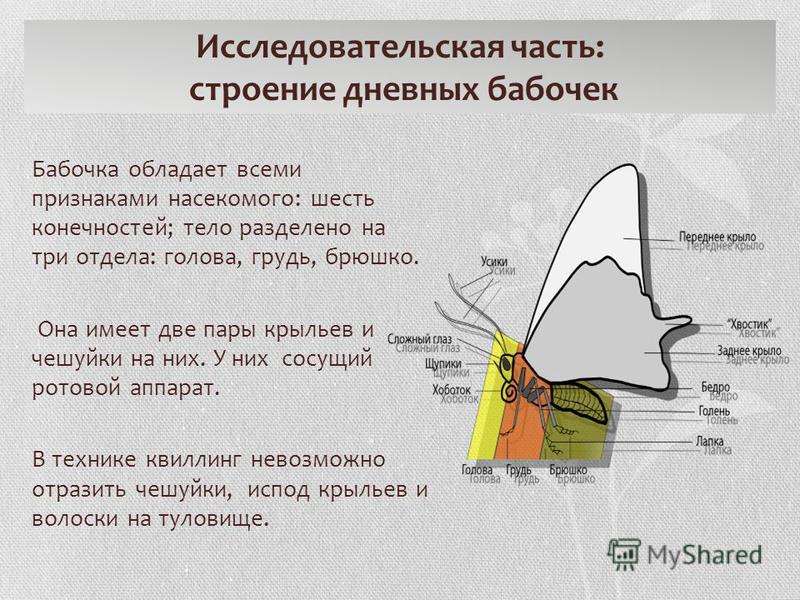 Исследовательская часть: строение дневных бабочек Бабочка обладает всеми признаками насекомого: шесть конечностей; тело разделено на три отдела: голова, грудь, брюшко. Она имеет две пары крыльев и чешуйки на них. У них сосущий ротовой аппарат. В техн