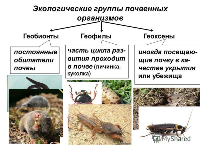 Экологические группы почвенных организмов Геобионты ГеофилыГеоксены постоянные обитатели почвы часть цикла раз- вития проходит в почве (личинка, куколка) иногда посещающие почву в качестве укрытия или убежища
