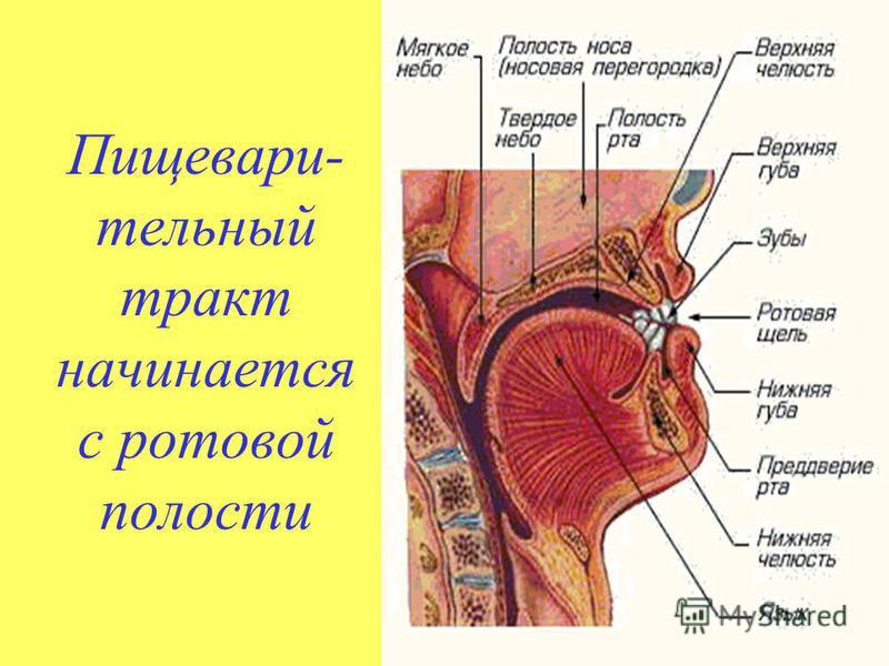 Пищевари- тельный тракт начинается с ротовой полости