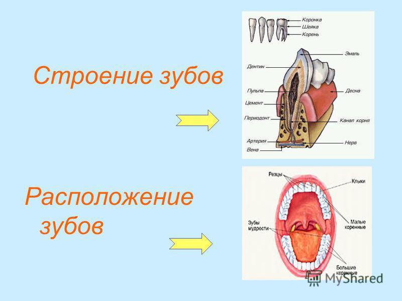 Строение зубов Расположение зубов