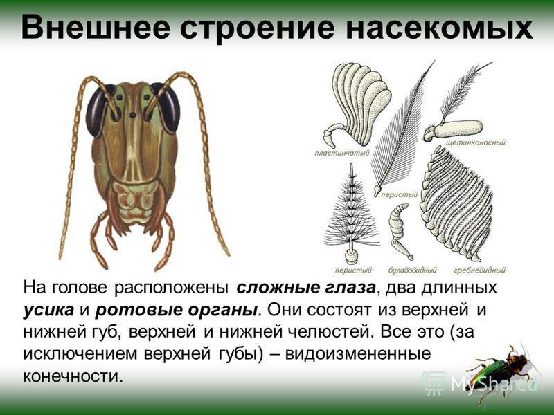 Внешнее строение насекомых На голове расположены сложные глаза, два длинных усика и ротовые органы. Они состоят из верхней и нижней губ, верхней и нижней челюстей. Все это (за исключением верхней губы) – видоизмененные конечности.