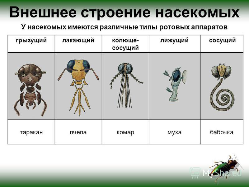 Внешнее строение насекомых У насекомых имеются различные типы ротовых аппаратов грызущийлакающийколюще- сосущий лижущий сосущий тараканпчелакомармухабабочка