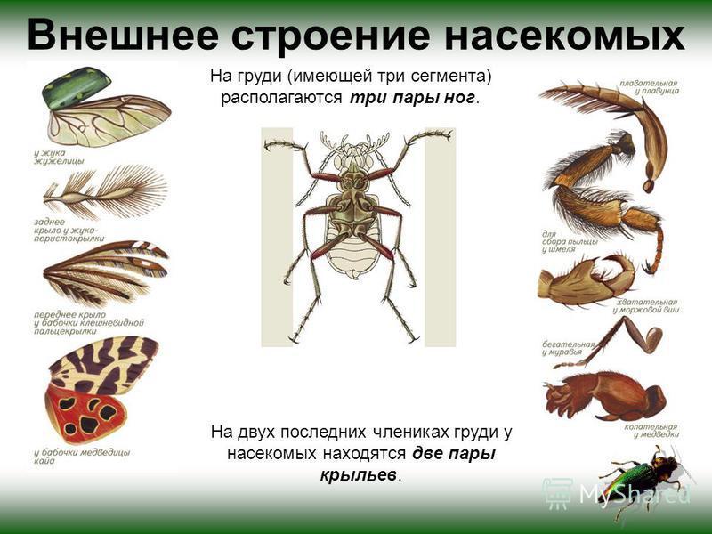 На груди (имеющей три сегмента) располагаются три пары ног. На двух последних члениках груди у насекомых находятся две пары крыльев. Внешнее строение насекомых