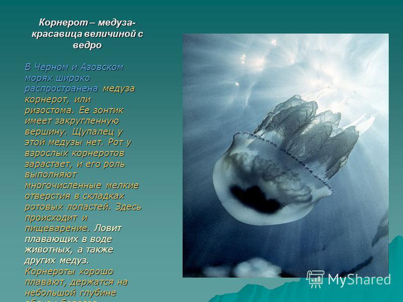 Корнерот – медуза- красавица величиной с ведро В Черном и Азовском морях широко распространена медуза корнерот, или хризостома. Ее зонтик имеет закругленную вершину. Щупалец у этой медузы нет. Рот у взрослых корнеротов зарастает, и его роль выполняют