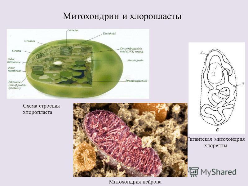 Митохондрии и хлоропласты Гигантская митохондрия хлореллы Митохондрия нейрона Схема строения хлоропласта