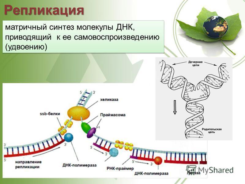 Репликация матричный синтез молекулы ДНК, приводящий к ее самовоспроизведению (удвоению)