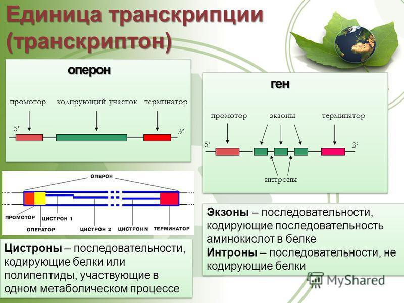 Единица транскрипции (транскриптон) 5 3 промотор кодирующий участок терминатор оперон 5 3 промотортерминаторэкзоны интроны ген Экзоны – последовательности, кодирующие последовательность аминокислот в белке Интроны – последовательности, не кодирующие
