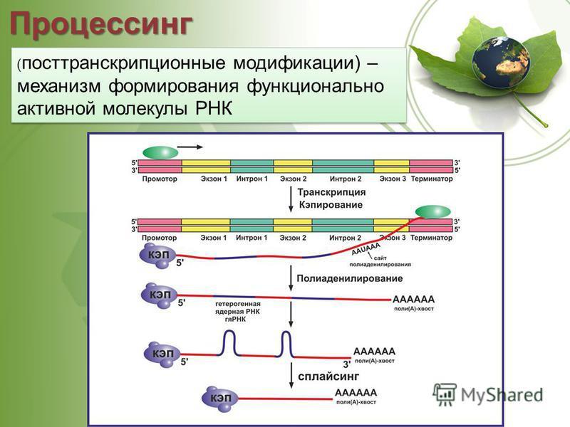 Процессинг ( посттранскрипционные модификации) – механизм формирования функционально активной молекулы РНК