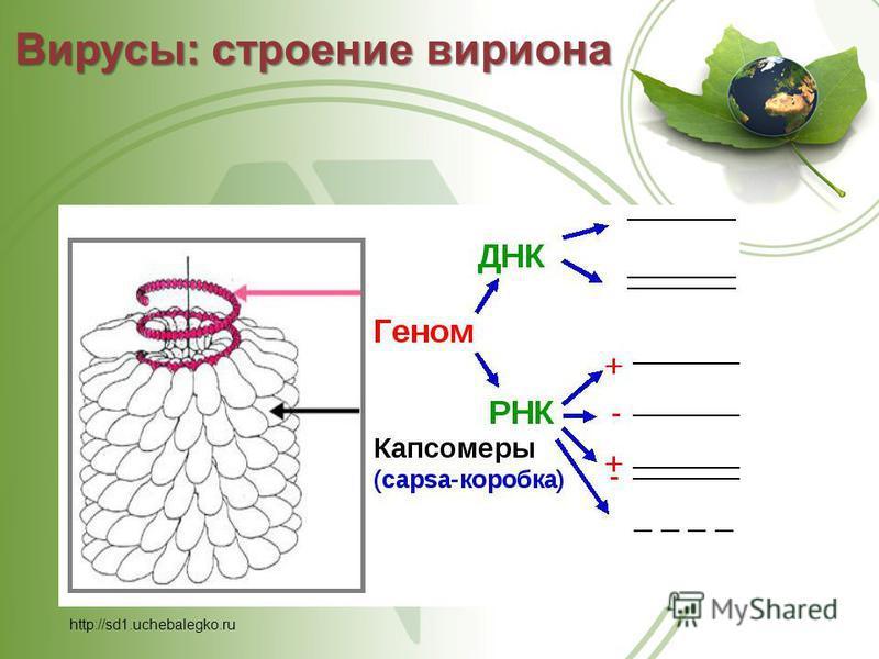 Вирусы: строение вириона http://sd1.uchebalegko.ru