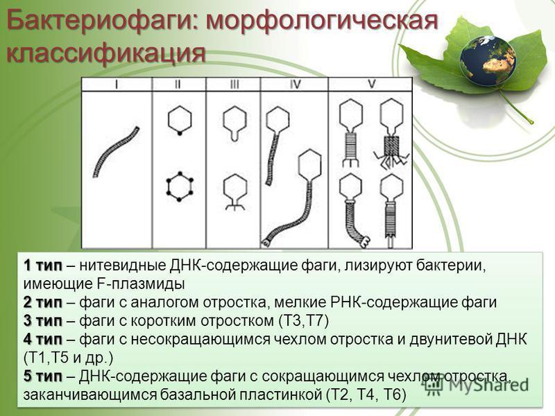 Бактериофаги: морфологическая классификация 1 тип 1 тип – нитевидные ДНК-содержащие фаги, лизируют бактерии, имеющие F-плазмиды 2 тип 2 тип – фаги с аналогом отростка, мелкие РНК-содержащие фаги 3 тип 3 тип – фаги с коротким отростком (Т3,Т7) 4 тип 4